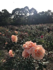 soho rose summer