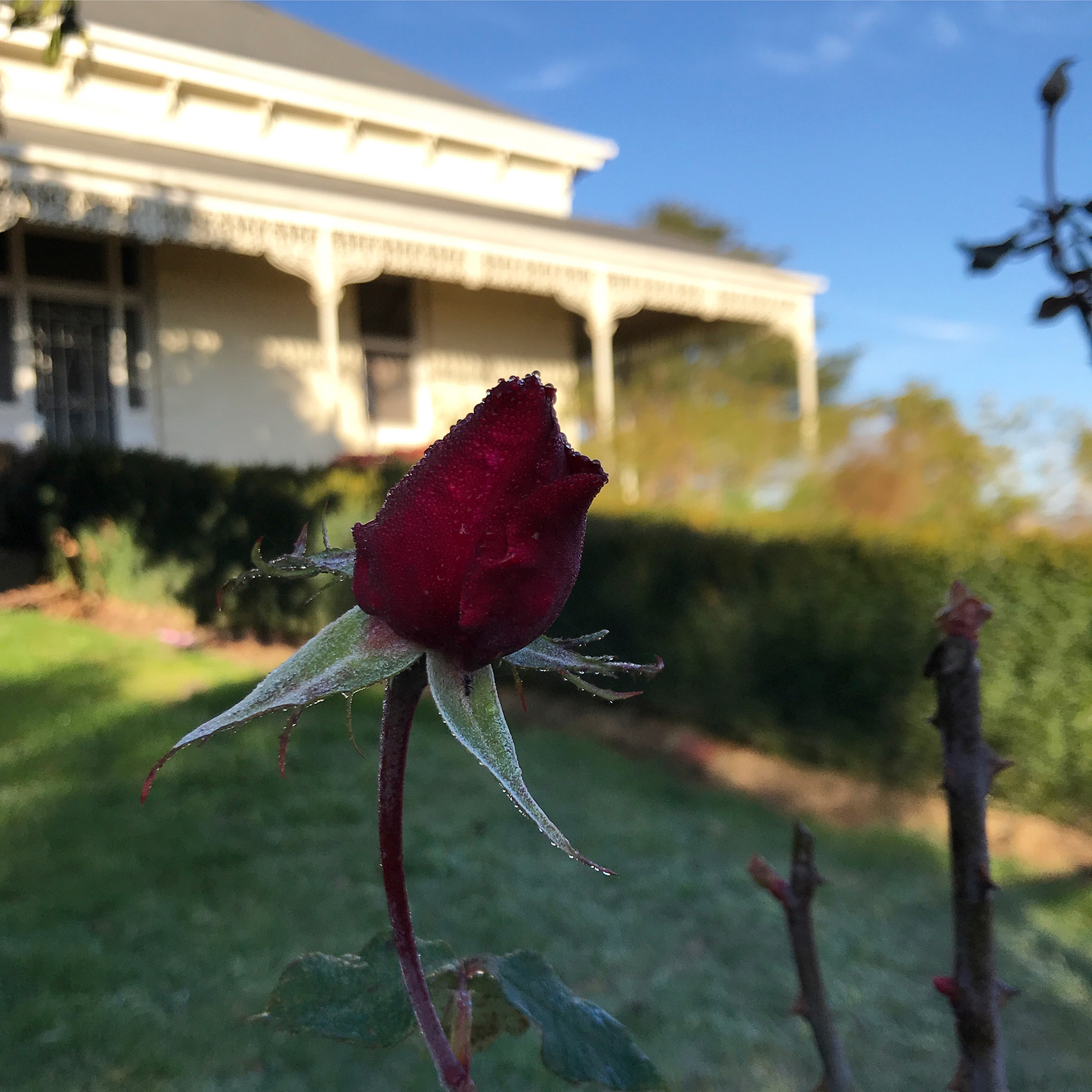 soho rose farm winter