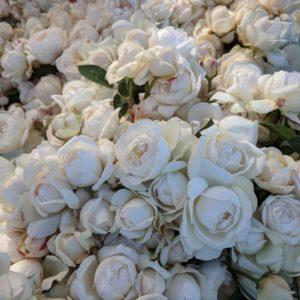 soho roses summer